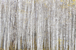 Aspens in the Key of White.jpg