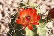 cactus flower 01.jpg