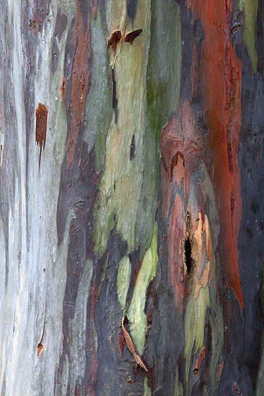 Australian Eucalyptus Tree 0605 Costa Rica 2011.jpg :: Another amazing tree trunk.