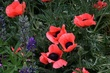 Poppies 8122 Crested Butte CO 2012.jpg
