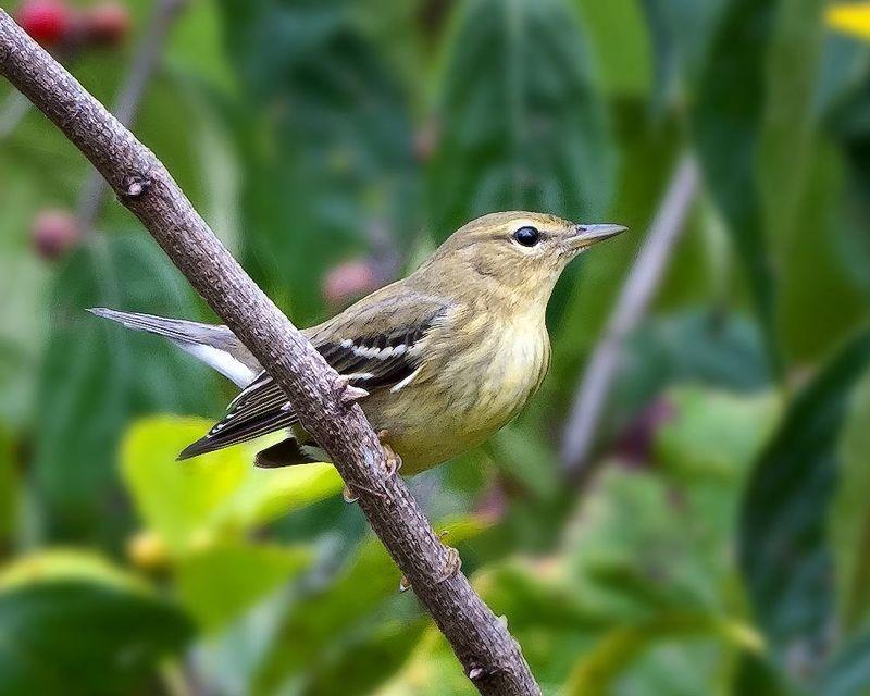 Blackpoll Warbler1602.jpg :: Blackpoll Warbler, Fall (Setophaga striata) Hanover Watershed WMA, York County, Pennsylvania