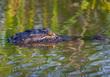 Alligator 1603.jpg