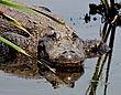 American Alligator 1001.jpg