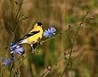 American Goldfinch 0901_S_M.jpg