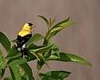American Goldfinch 0904_S_M.jpg