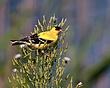 American Goldfinch 0906_S_M.jpg