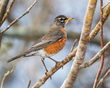 American Robin 1801.jpg