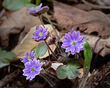 Anemone acutiloba-Hepatica nobilis var acuta-Sharp-lobed Hepatica 1805.jpg