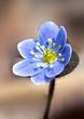 Anemone americana-Round-lobed hepatica- Hepatica nobilis var obtusa - blue 1201.jpg