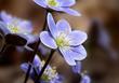 Anemone americana-Round-lobed hepatica- Hepatica nobilis var obtusa - blue 1202.jpg