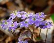 Anemone americana-Round-lobed hepatica- Hepatica nobilis var obtusa - blue 1801.jpg