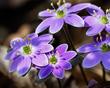 Anemone americana-Round-lobed hepatica- Hepatica nobilis var obtusa - blue 1802.jpg