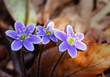 Anemone americana-Round-lobed hepatica- Hepatica nobilis var obtusa - blue 1803.jpg