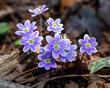 Anemone americana-Round-lobed hepatica- Hepatica nobilis var obtusa - blue 1804.jpg