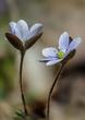 Anemone americana-Round-lobed hepatica- Hepatica nobilis var obtusa - blue 2001(1).jpg