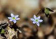 Anemone americana-Round-lobed hepatica- Hepatica nobilis var obtusa - blue 2003(1).jpg
