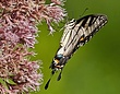 Appalachian Tiger Swallowtail-Papilio appalachiensis1201.jpg