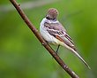 Ash-throated Flycatcher 1301.jpg