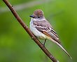 Ash-throated Flycatcher 1302.jpg
