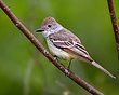 Ash-throated Flycatcher 1303.jpg