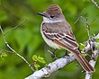 Ash-throated Flycatcher 1304.jpg