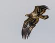 Bald Eagle - Juvenile 2011.jpg