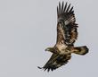 Bald Eagle - Juvenile 2012.jpg