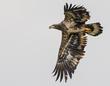 Bald Eagle - Juvenile 2013.jpg