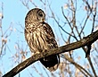Barred Owl 0906.jpg