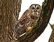 Barred Owl 1001.jpg