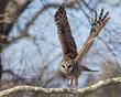 Barred Owl 1801.jpg