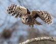Barred Owl 1802.jpg