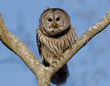 Barred Owl 2101.jpg