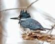 Belted Kingfisher 1101.jpg