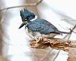 Belted Kingfisher 1102.jpg