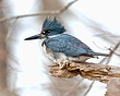 Belted Kingfisher 1103.jpg