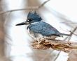 Belted Kingfisher 1103.jpg
