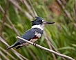 Belted Kingfisher 1104.jpg