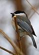 Black Capped Chickadee 0902.jpg