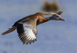 Black-bellied Whistling Duck 2001.jpg