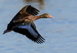 Black-bellied Whistling Duck 2002.jpg