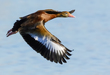 Black-bellied Whistling Duck 2003.jpg