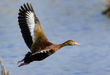 Black-bellied Whistling Duck 2004.jpg