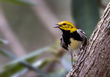 Black-throated Green Warbler 1801.jpg