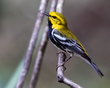 Black-throated Green Warbler 1802.jpg