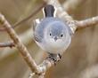 Blue Gray Gnatcatcher 2004.jpg