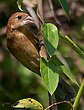 Blue Grosbeak - F 1306.jpg
