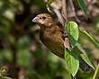 Blue Grosbeak - F 1307.jpg