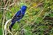 Blue Grosbeak 0901.jpg