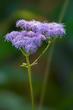 Blue Mistflower - Conoclinium coelestinum 1901(1).jpg